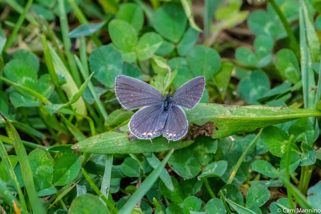 Eastern tailed blue butterfly CL